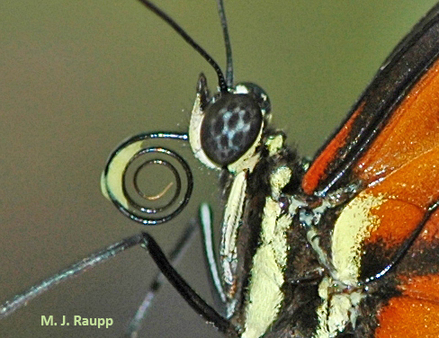 Longwing butterflies collect pollen on their proboscis and extract nutritious amino acids from the grains.