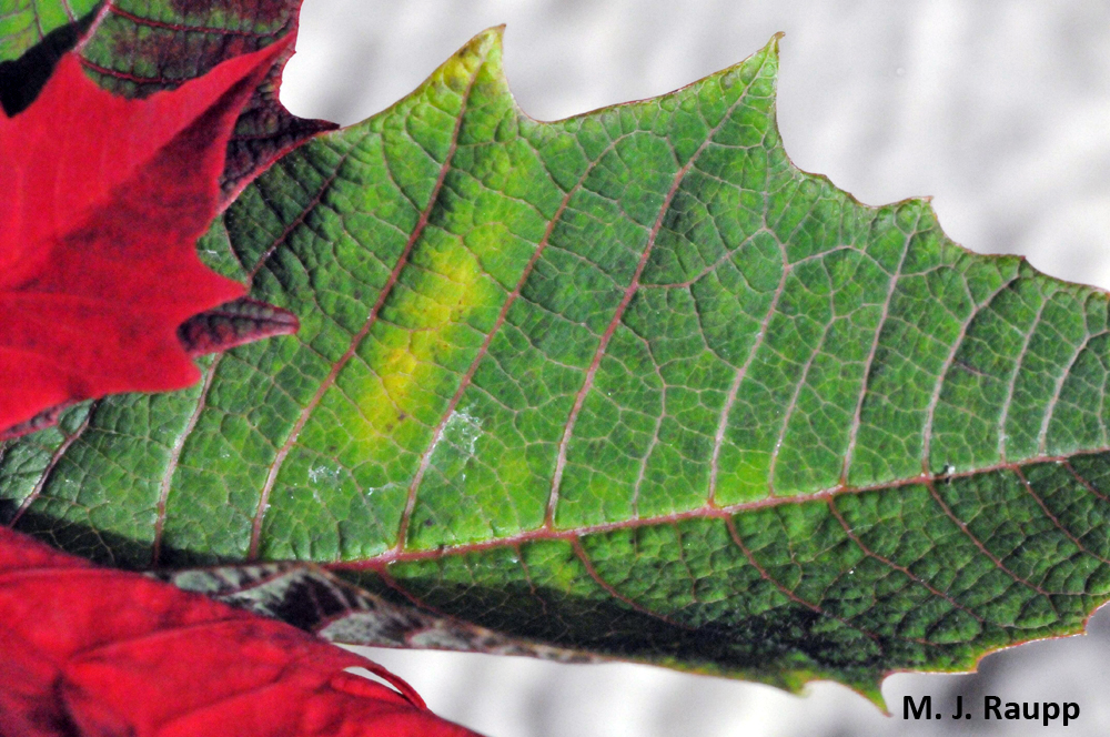 Yellow patches on leaves may be a sign of whiteflies feeding below.
