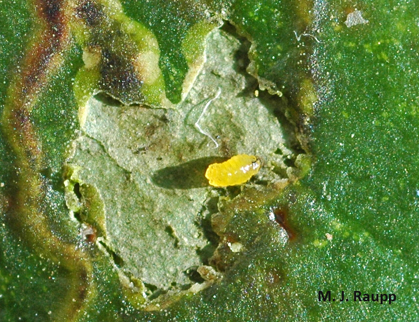 Peeling back the leaf surface reveals the tiny yellow holly leafminer larva feeding in the gallery.