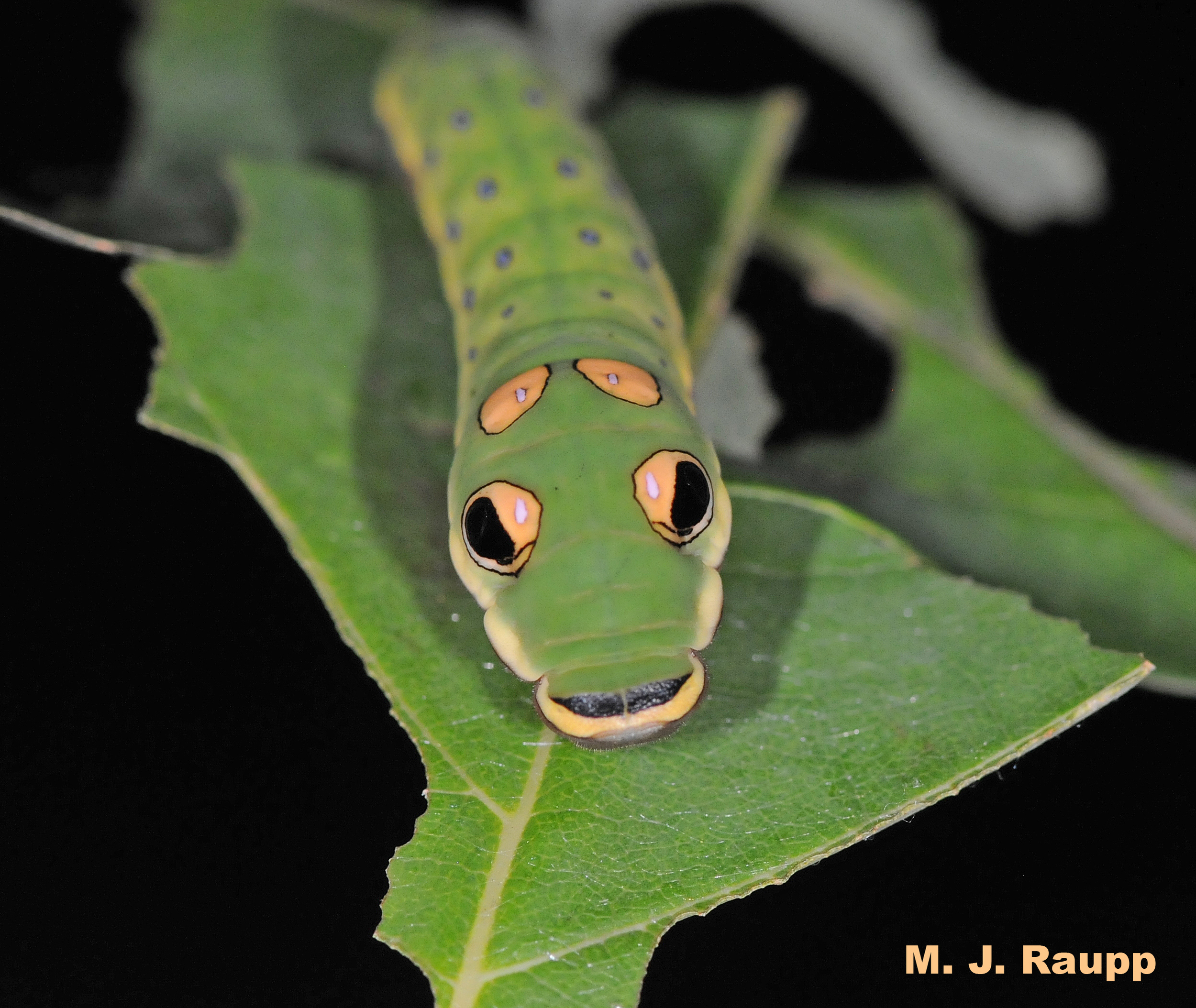 "Large snake-like eyespots on the body might give a hungry bird second thoughts about attacking this caterpillar.                  96     800x600                  Normal     0                     false     false     false         EN-US     JA     X-NONE                                                                                                                                                                                                                                                                                                                                                                                                                                                                                                                                                                                                                                                                                                               /* Style Definitions */ table.MsoNormalTable 	{mso-style-name:""Table Normal""; 	mso-tstyle-rowband-size:0; 	mso-tstyle-colband-size:0; 	mso-style-noshow:yes; 	mso-style-priority:99; 	mso-style-parent:""""; 	mso-padding-alt:0in 5.4pt 0in 5.4pt; 	mso-para-margin:0in; 	mso-para-margin-bottom:.0001pt; 	mso-pagination:widow-orphan; 	font-size:10.0pt; 	font-family:""Times New Roman"";}"