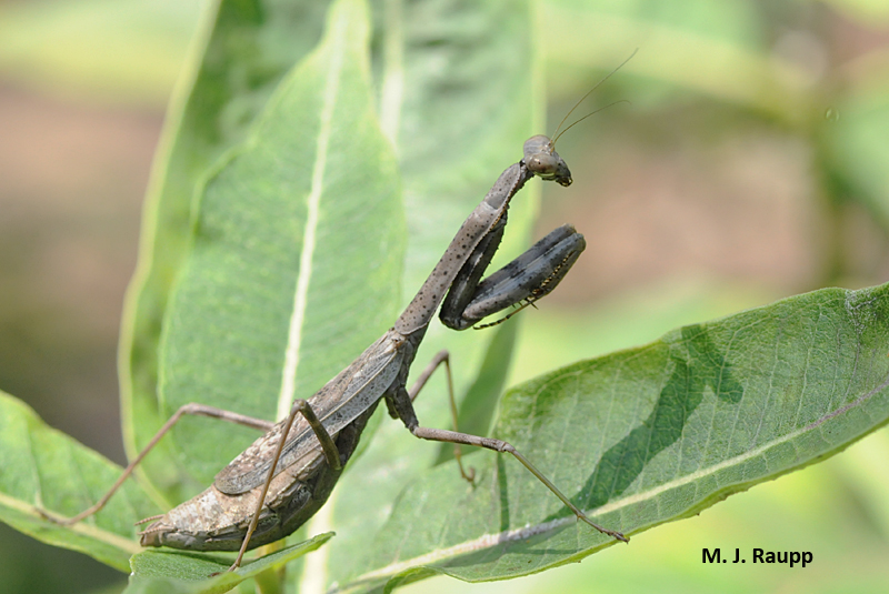 A gorgeous Carolina mantis waits for a meal or perhaps a mate who might be a dinner guest.