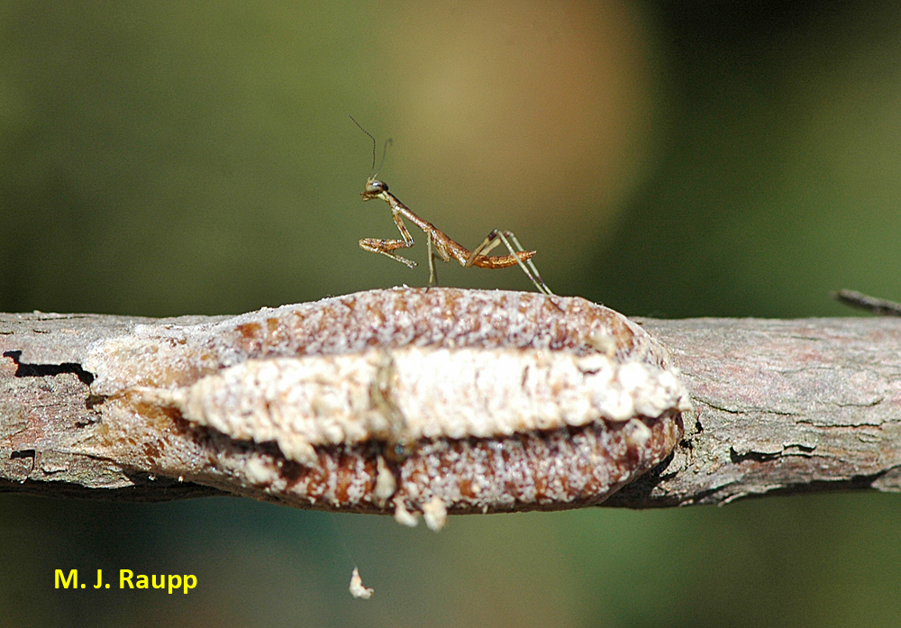 Tiny   Carolina mantises emerge from their egg case in spring and hunt small insects.
