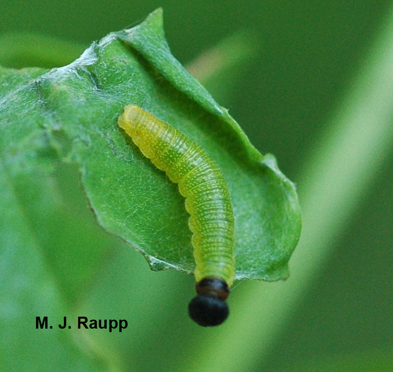 Large silver spotted skipper larvae web together entire leaves.