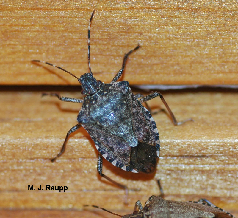 With the onset of autumn weather, brown marmorated stink bugs storm a household.
