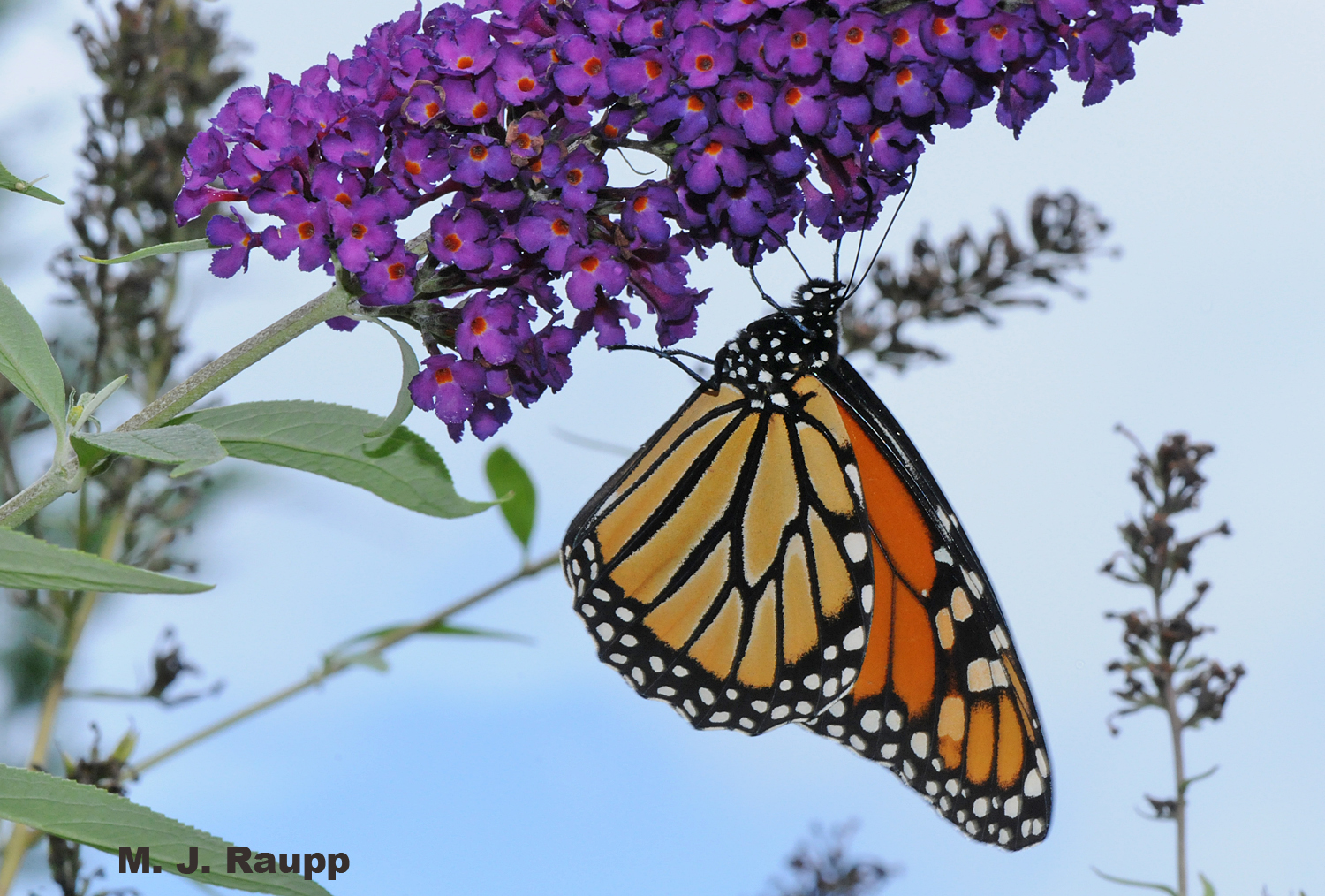 A monarch prepares to carbo-load on nectar before performing its royal tasks.