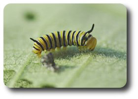 A   newly hatched monarch caterpillar prepares for its first meal.