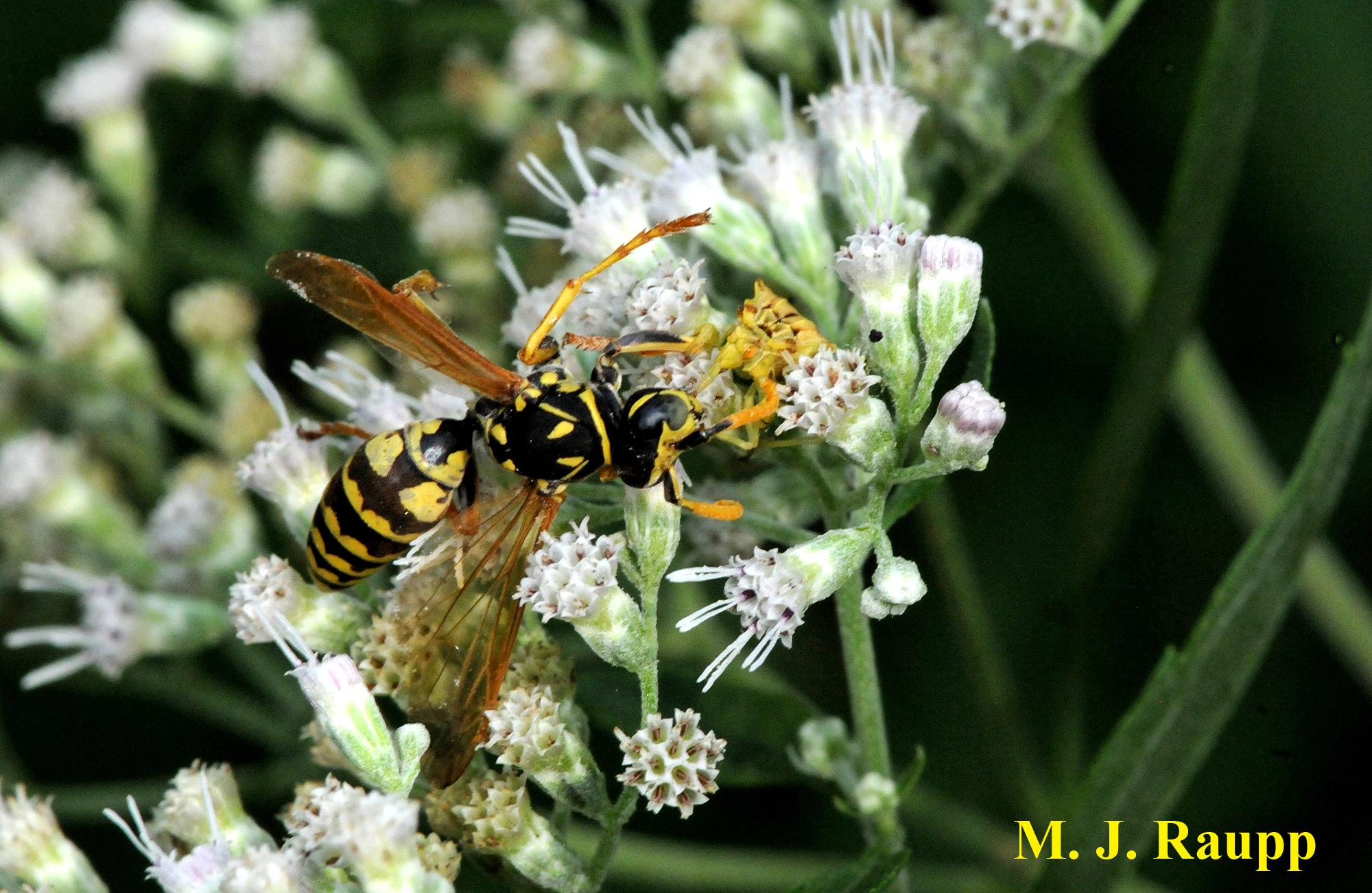 A yellow and brown ambush bug gives a small wasp a perfidious kiss.
