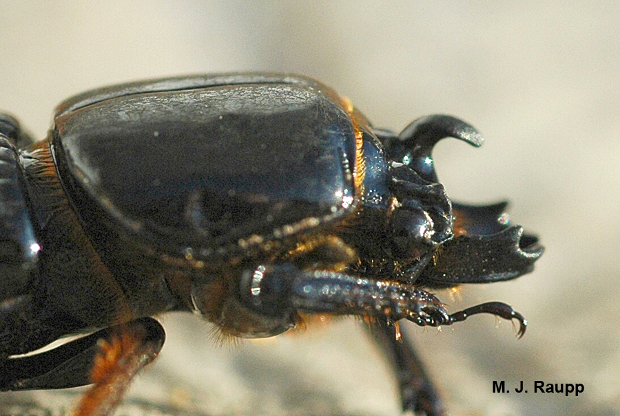 Powerful jaws and a magnificent horn are standard equipment for a bess beetle.