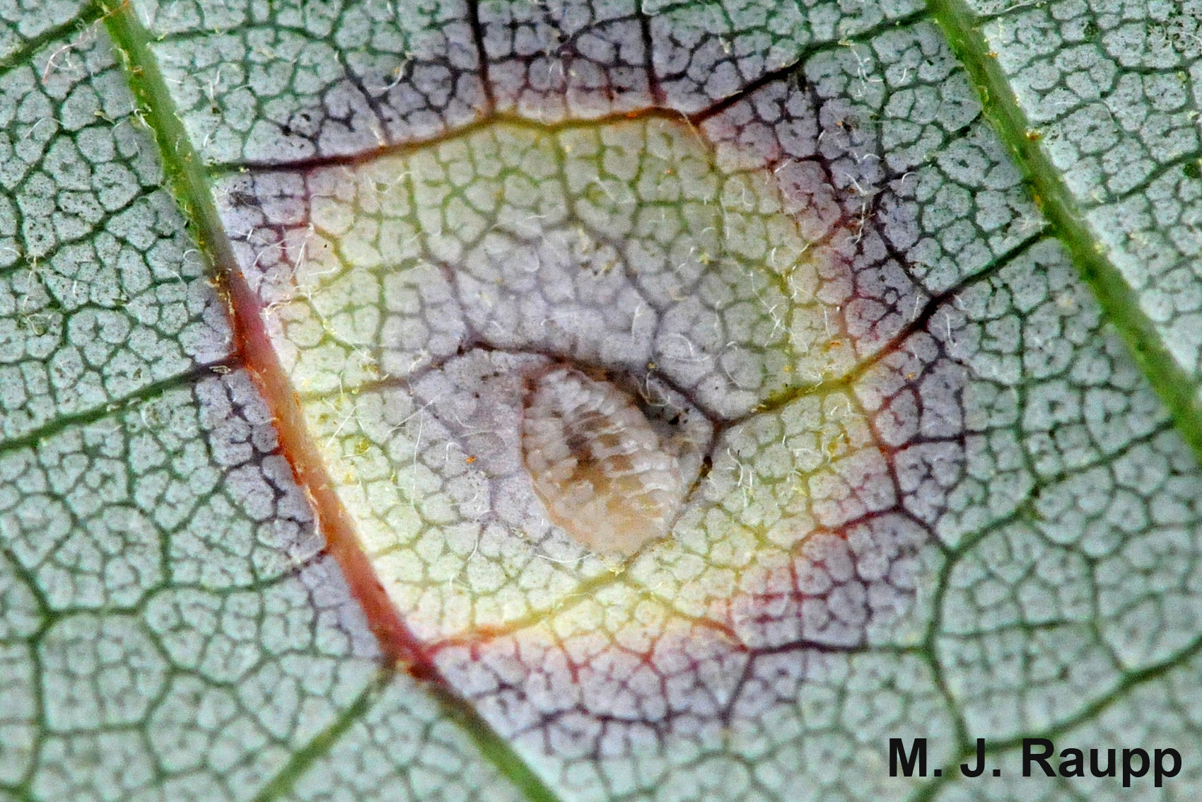 At the center of each eyespot a small translucent fly larva feeds.