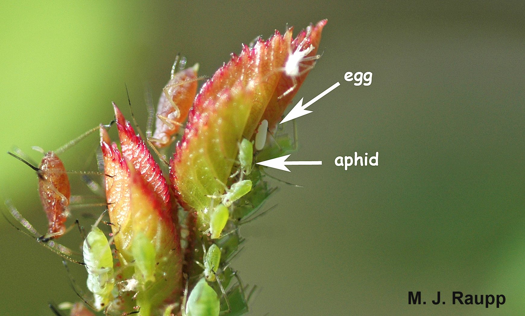 Unsuspecting aphids face certain death when the flower fly egg hatches in a few days.