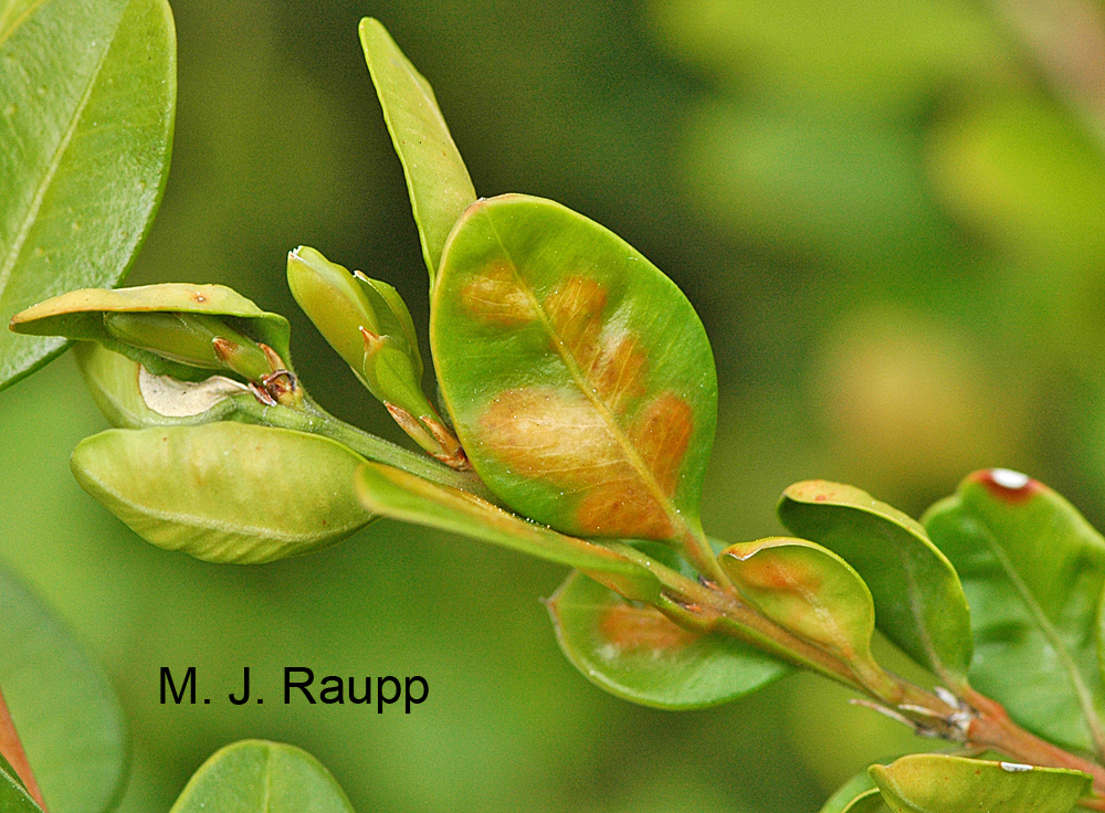 Orange blisters on boxwood leaves are a good indication of leafminers.