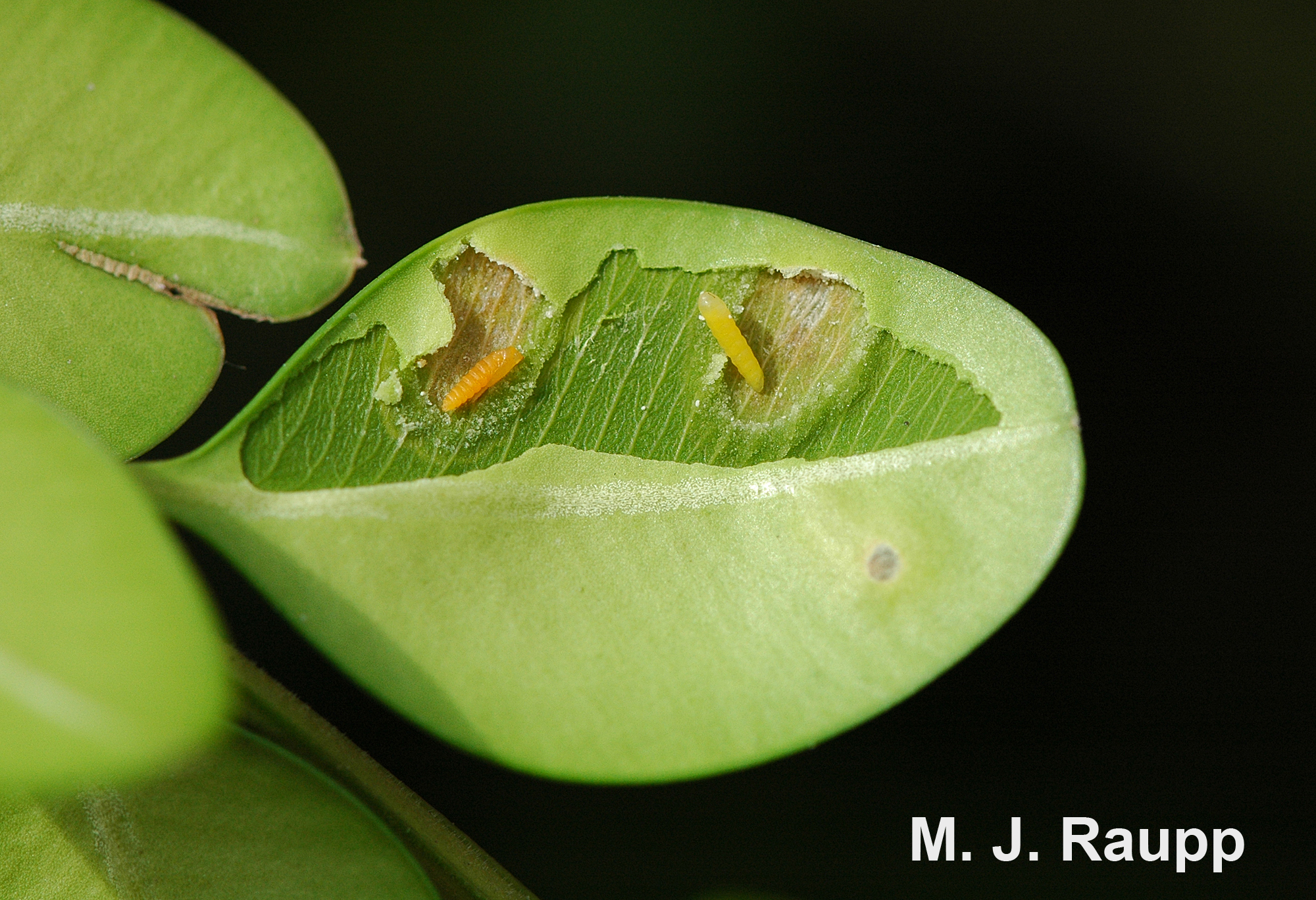 Boxwood leafminer larvae and pupae can be found inside the galled leaf tissue before adults emerge in spring.
