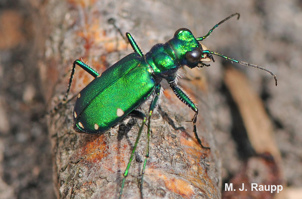 A tiger beetle scans the forest floor for potential food.