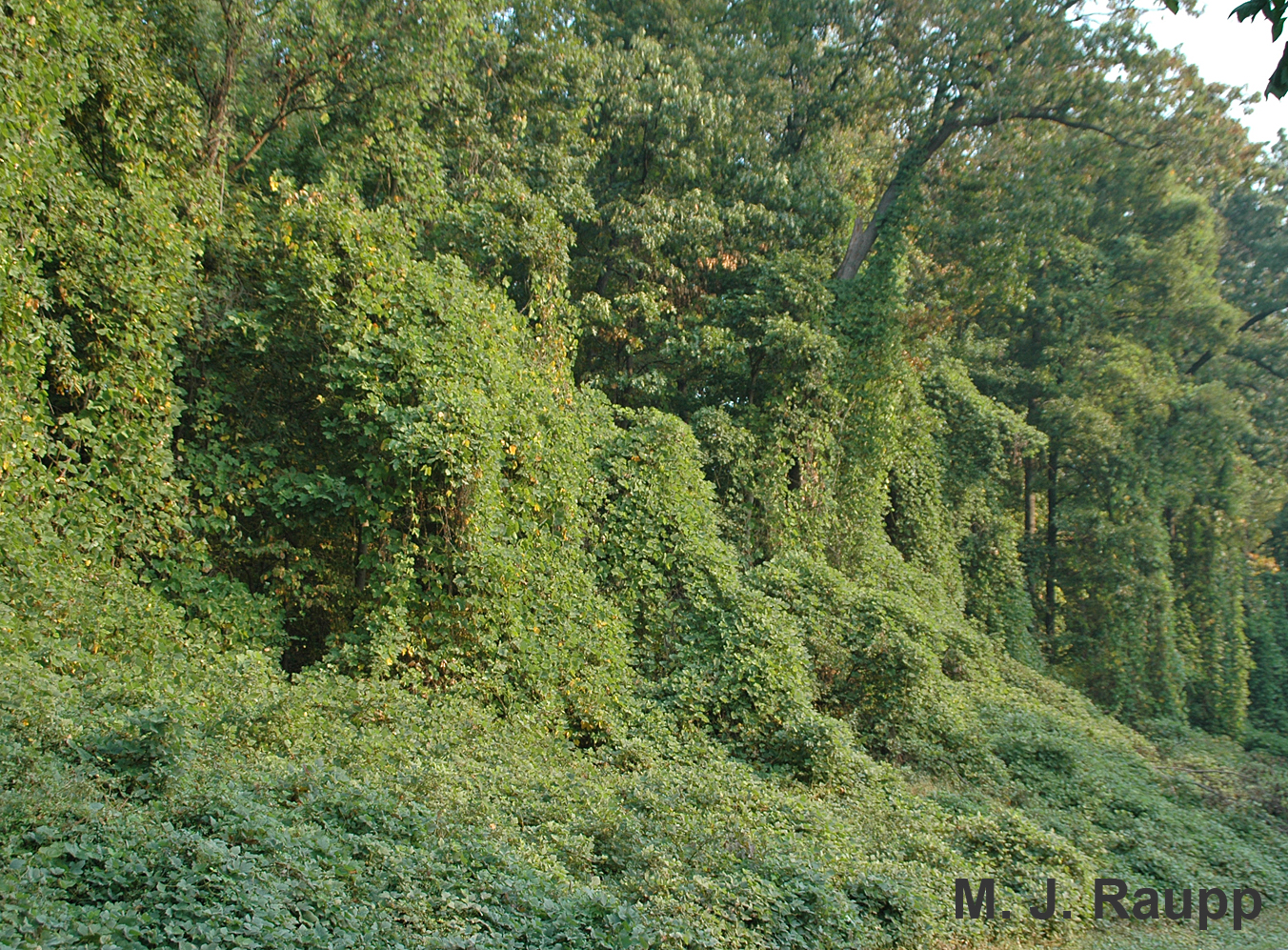 Kudzu engulfs surrounding trees and shrubs in landscapes.