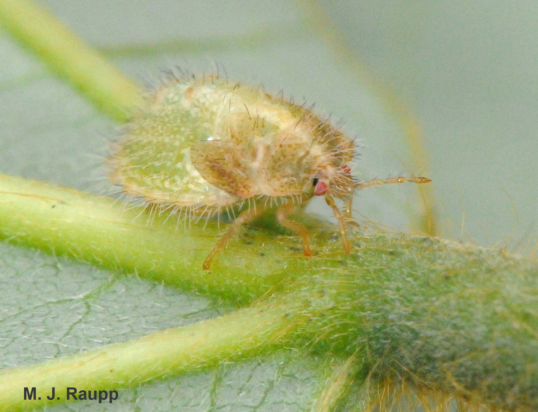 Nymphs of kudzu bugs are almost as hairy as the vines of kudzu on which they feed.
