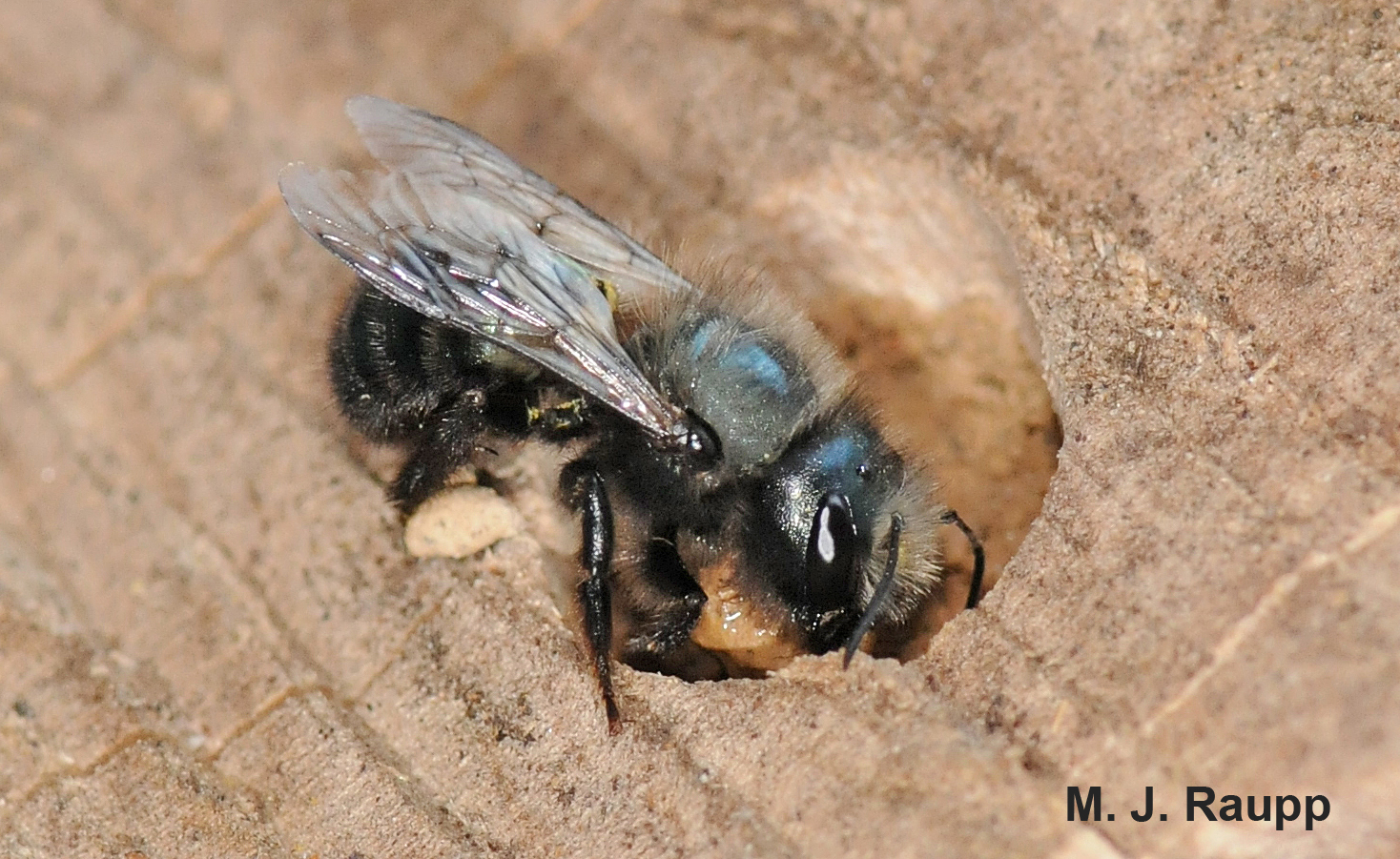 Blue orchard mason bees are early season pollinators of some of our most important fruit crops, like apples and cherries.