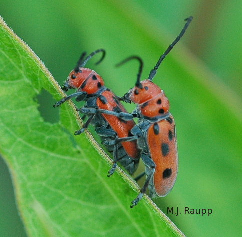 First dates can even be awkward for milkweed longhorned beetles.