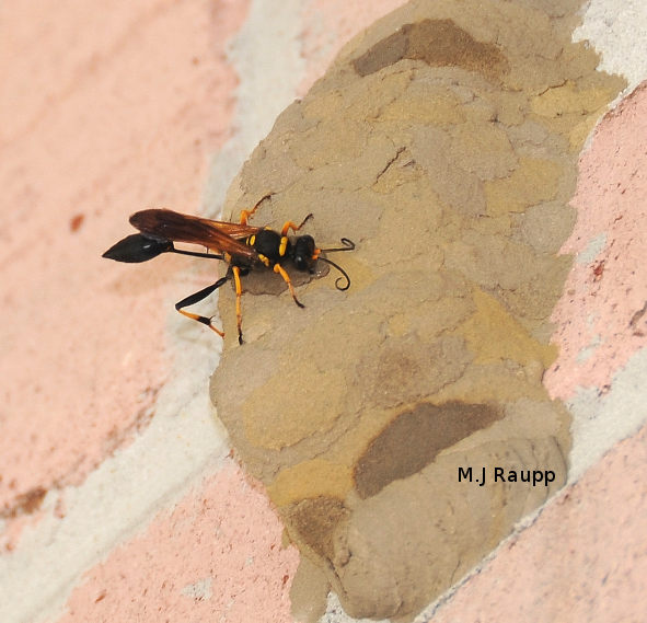 A yellow and black mud dauber puts finishing touches on brood chambers.