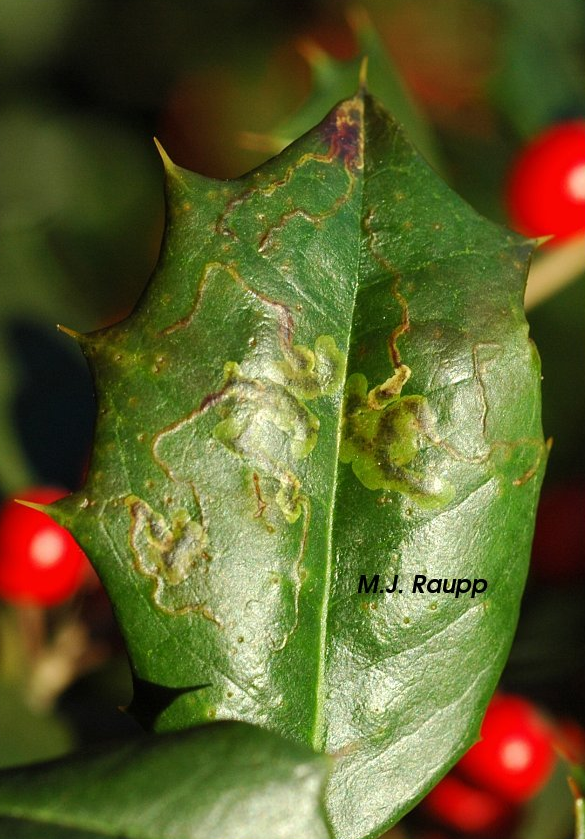 Snakelike galleries are a sure sign of holly leaf miners.