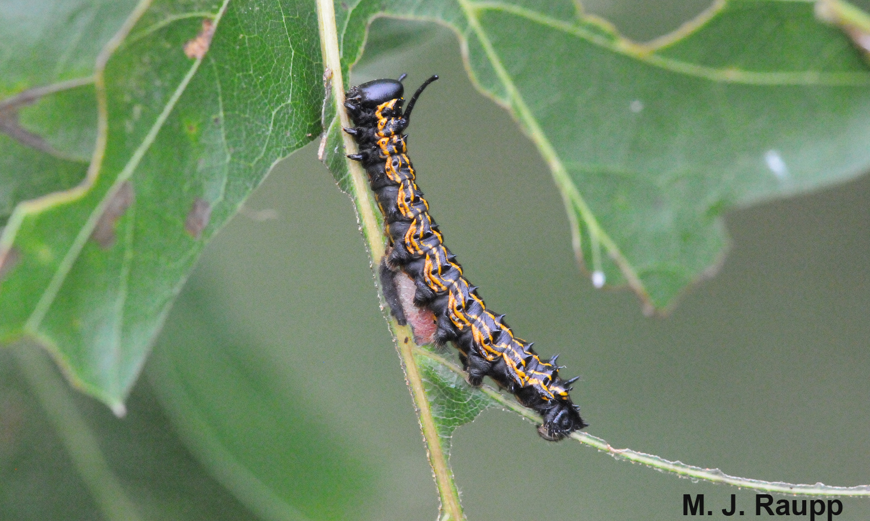 Large oakworm caterpillars devour all but the toughest leaf veins.