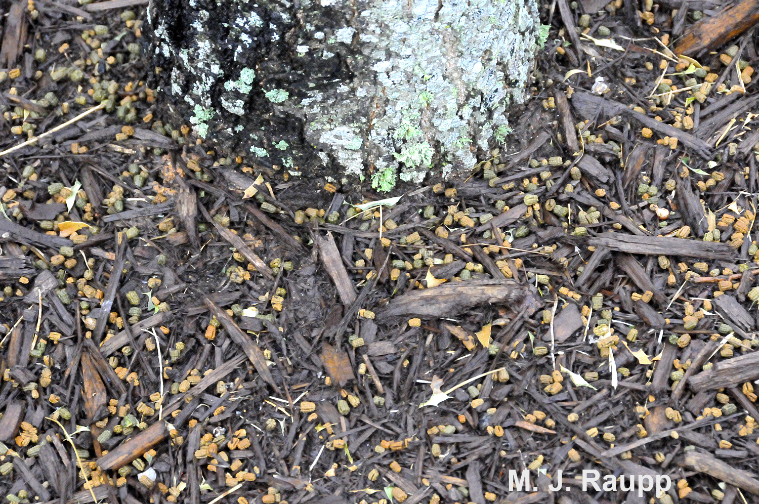 Thousands of frass pellets litter the ground beneath trees infested with oakworms.