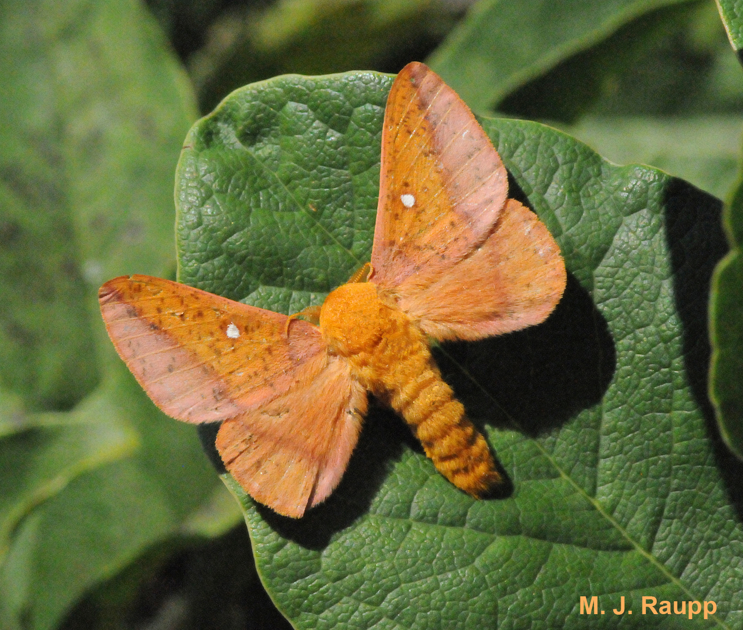The handsome adult orangestriped oakworm is a moth covered in fur-like scales.