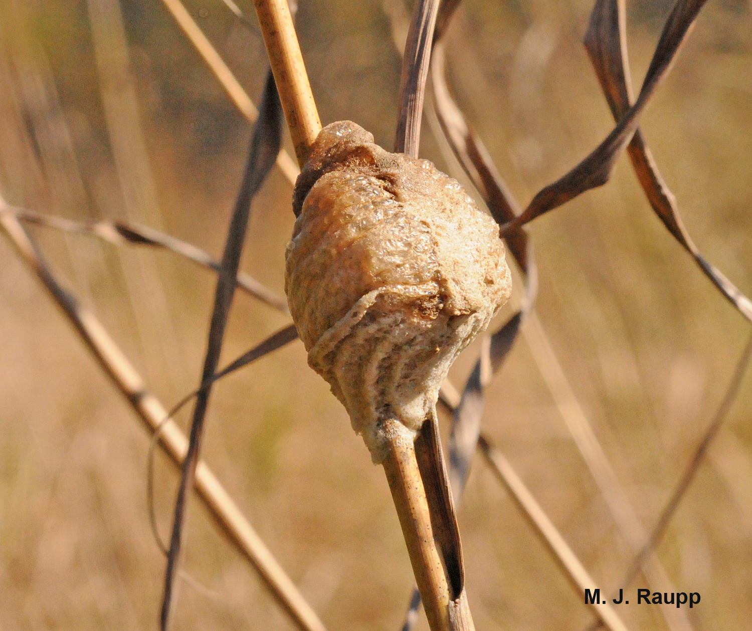 Stink bug protein is turned into mantis eggs inside an ootheca that endures winter's chill.