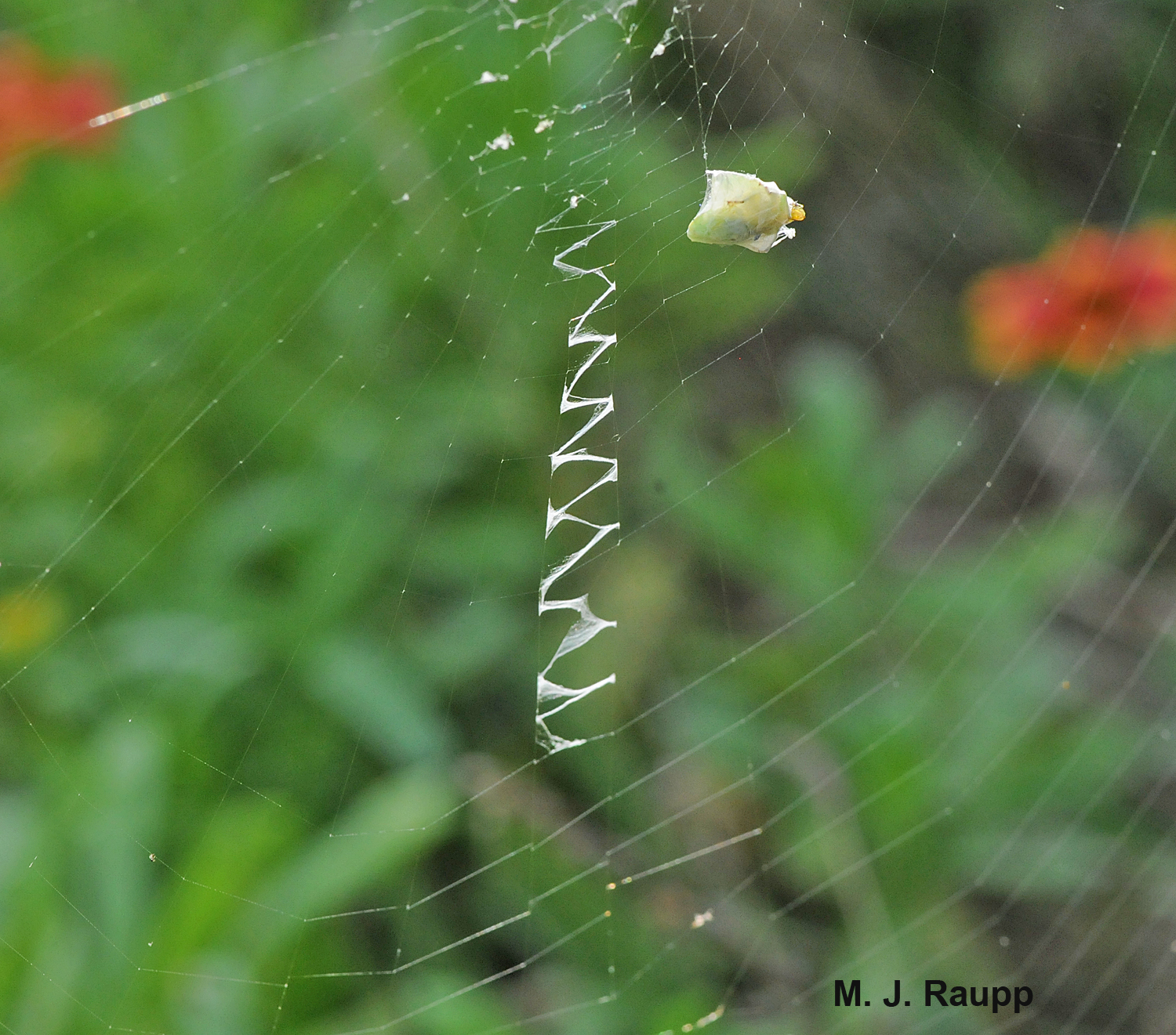 A stabilimentum of heavy silk adorns the center of this web.