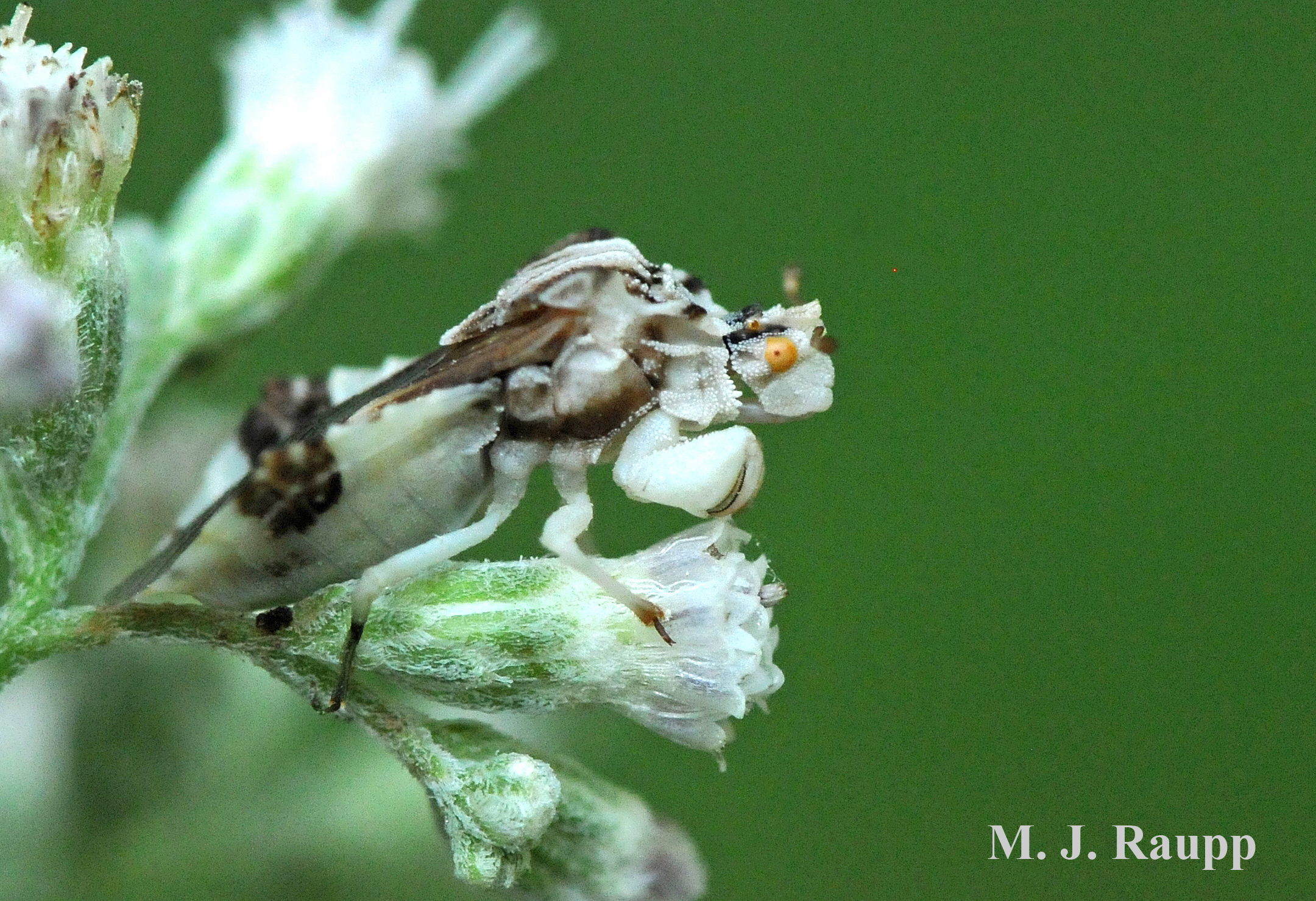 Ambush bug's enlarged forelegs allow it to snare its victim