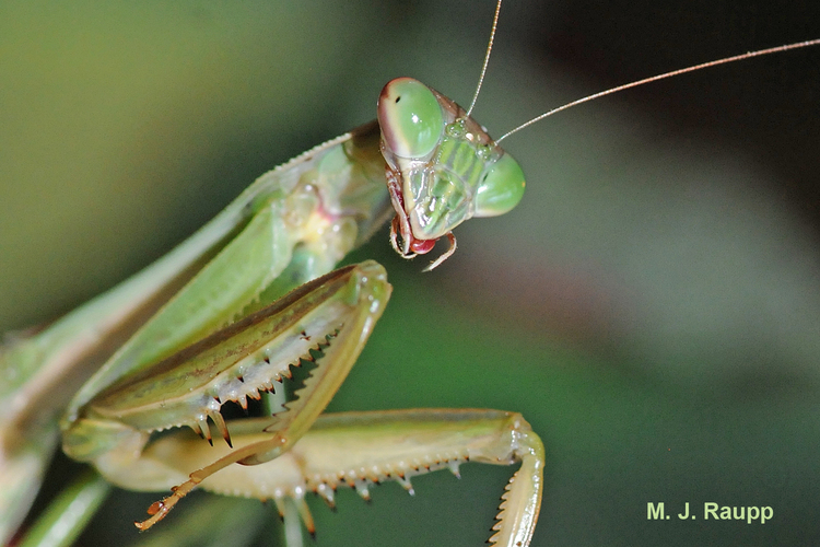 Chinese mantis awaiting his stink bug meal