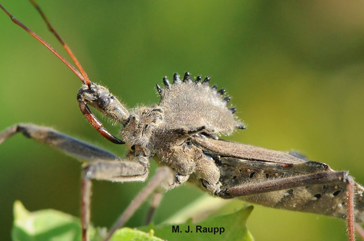 Wheel bug, a stink bug predator