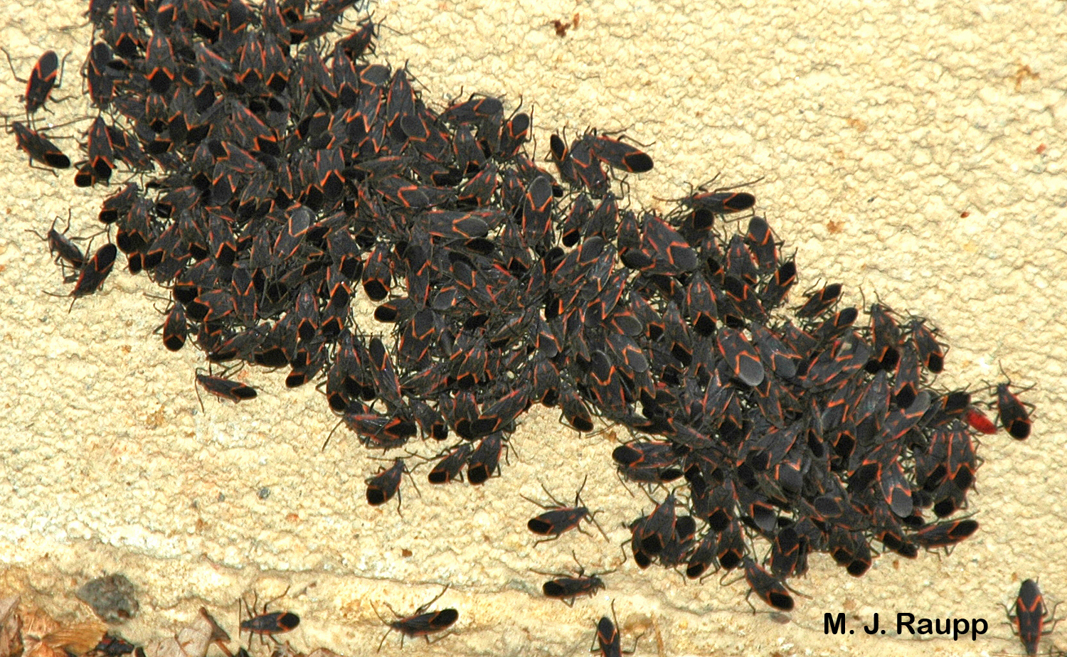 Hundreds of boxelder bugs bask in the sun on the side of the boxelder bungalow.