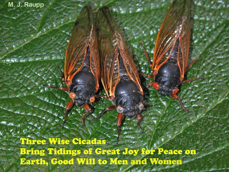 Three wise Brood II cicadas wish everyone a Happy Holiday season and joyous New Year.