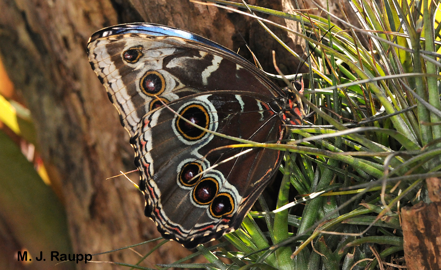 Bold scary eyespots adorn the lower surface of the  Morpho' s wings.