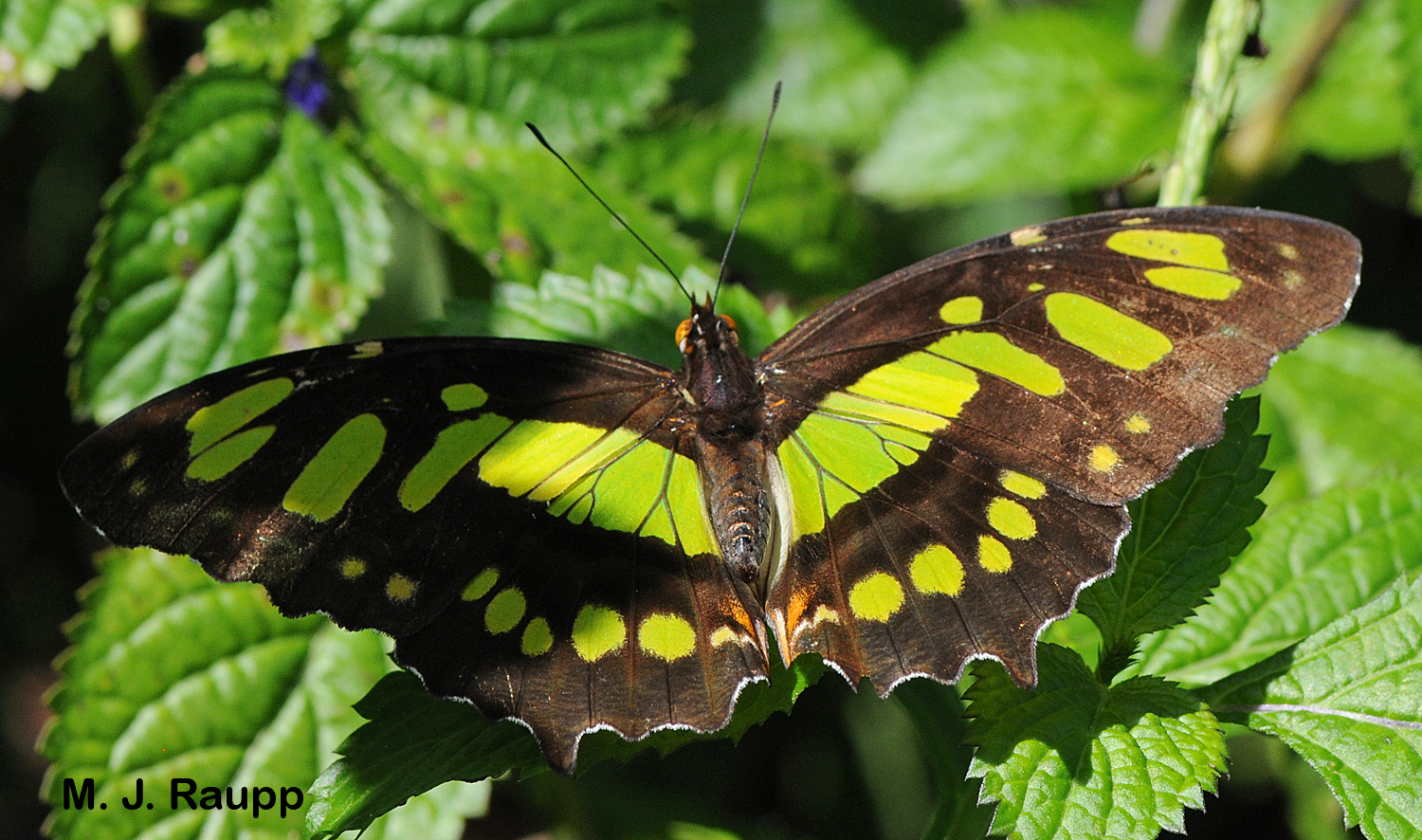 A beautiful Malachite butterfly rests in the vegetation.