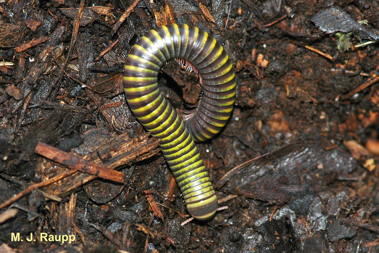 This millipede is as useful as it is pretty, helping recycle decaying organic matter on the forest floor.