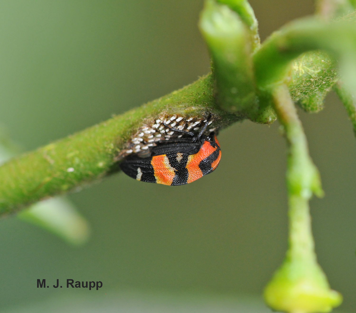 High in the forest canopy this beautiful treehopper guards her eggs.