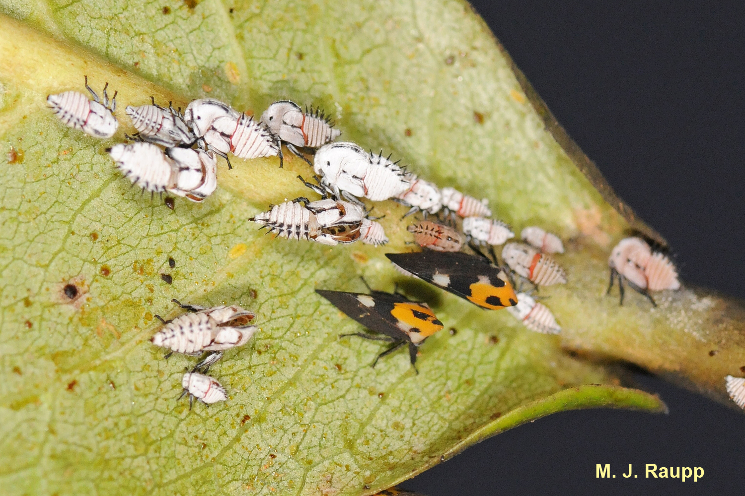 Two adult treehoppers share guard duty watching over little treehopper nymphs.