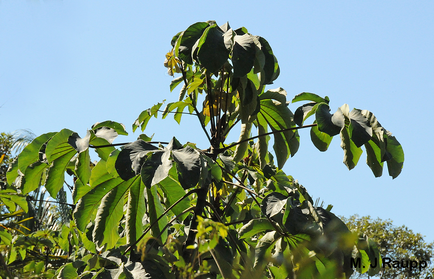 Leaves of the  Cecropia  are remarkably damage free owing to their  Azteca  ant bodyguards.