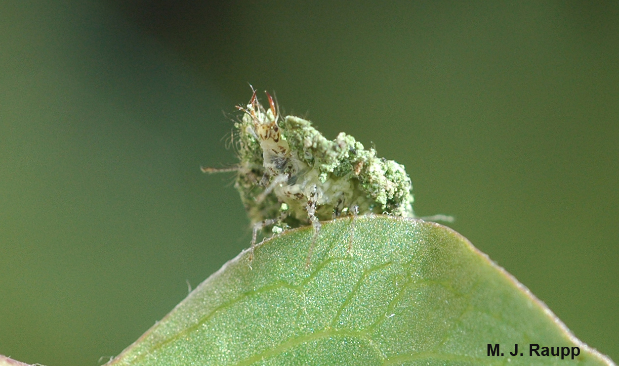 Look at the ferocious jaws of the lacewing larva protruding from its cloak of debris.