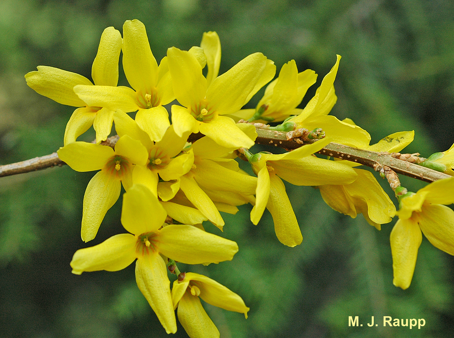 Forsythia blossoms welcome spring - at last!