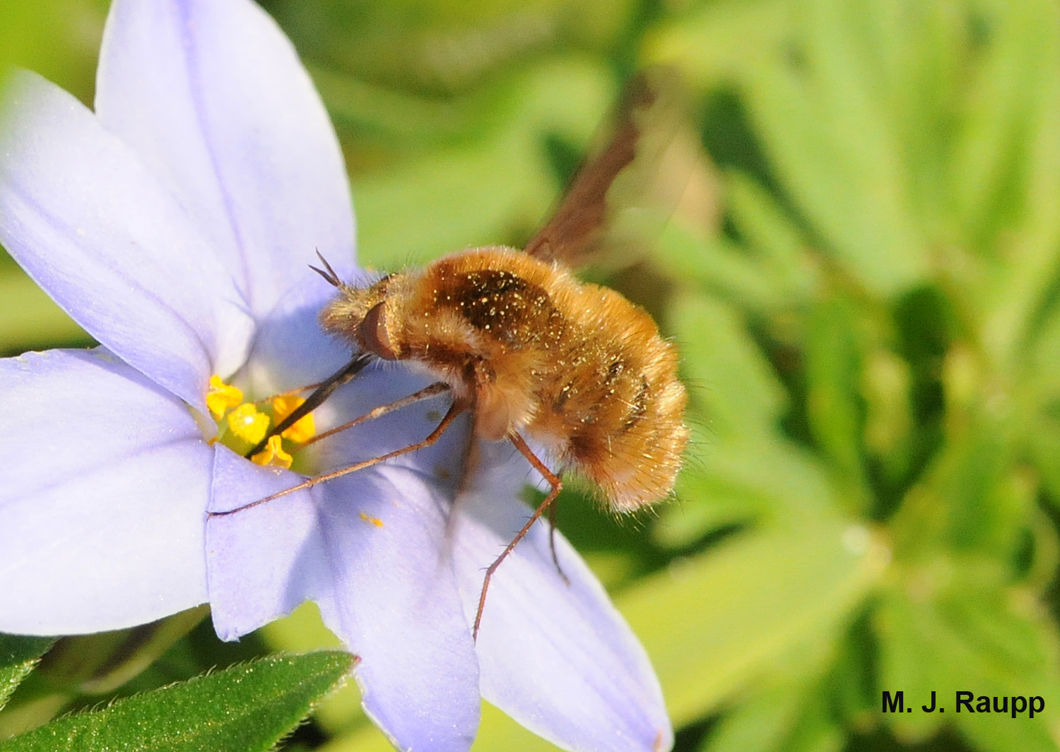 Bee flies are beautiful but deadly.