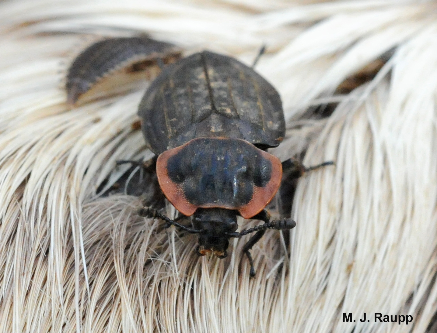 A Good Deer Food For Carrion Beetles I Oiceoptoma Noveboracense