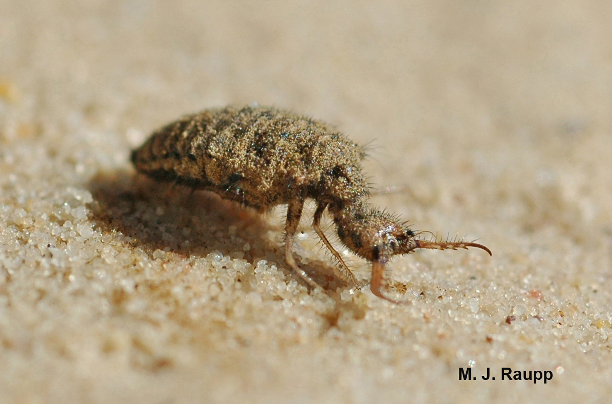 Wicked jaws of the antlion larva capture victims and suck their blood.