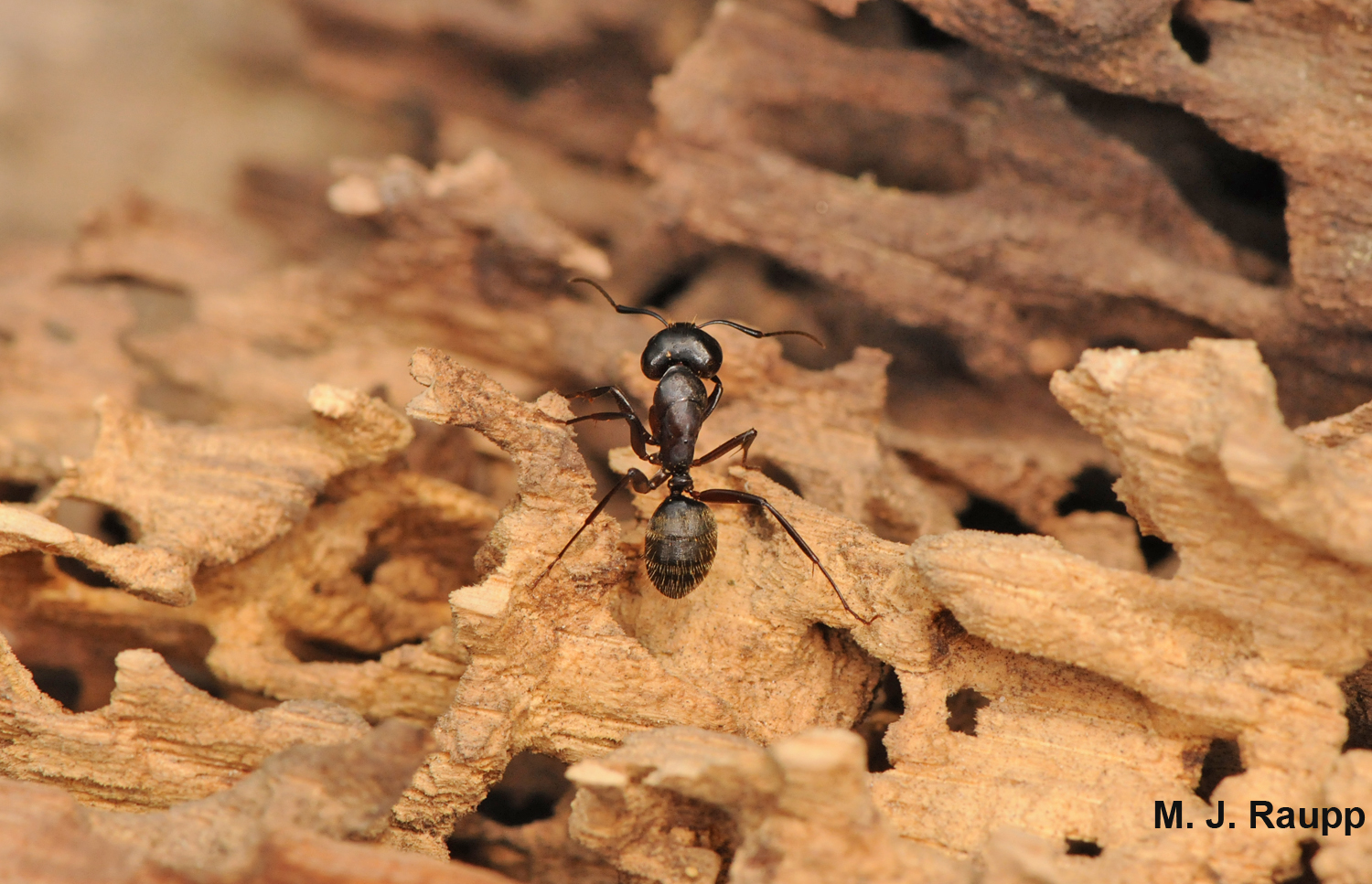 Carpenter ants excavate galleries for pupae and larvae in trees and stumps outdoors.