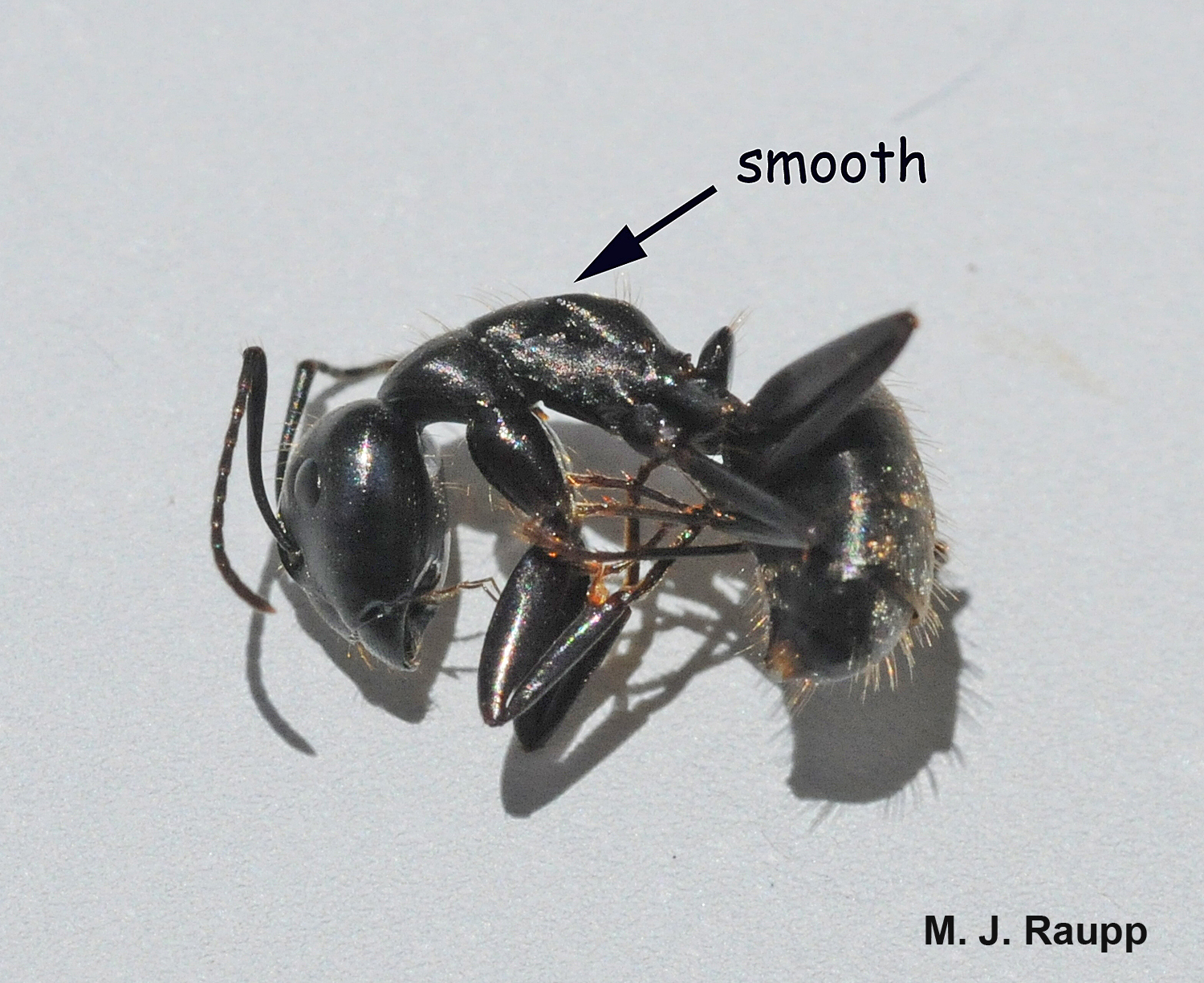 Carpenter ants are differentiated from field ants by the smooth contour of their thorax in profile.