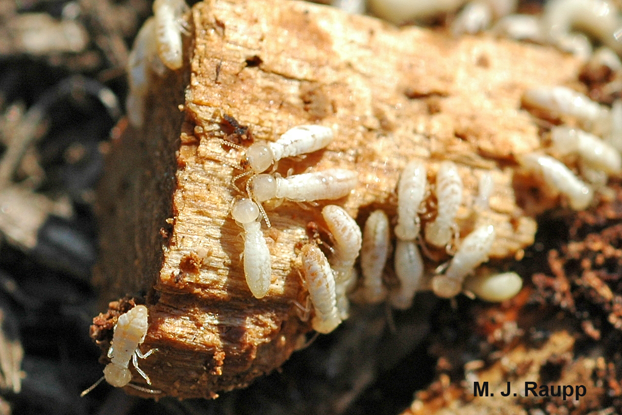 Termite workers will make short work of this wood chip.