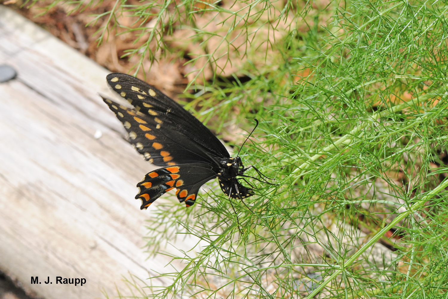"A female black swallowtail butterfly lays her eggs on dill.          Normal   0           false   false   false     EN-US   X-NONE   X-NONE                                  MicrosoftInternetExplorer4                                                                                                                                                                                                                                                                                                                                            /* Style Definitions */  table.MsoNormalTable 	{mso-style-name:""Table Normal""; 	mso-tstyle-rowband-size:0; 	mso-tstyle-colband-size:0; 	mso-style-noshow:yes; 	mso-style-priority:99; 	mso-style-parent:""""; 	mso-padding-alt:0in 5.4pt 0in 5.4pt; 	mso-para-margin:0in; 	mso-para-margin-bottom:.0001pt; 	mso-pagination:widow-orphan; 	font-size:10.0pt; 	font-family:""Times New Roman"",""serif"";}"