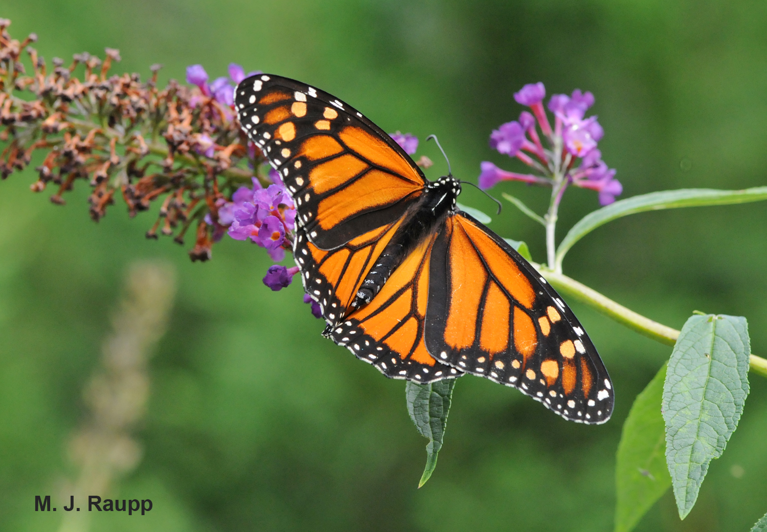 Monarchs are a summer delight in the meadows of Maryland.