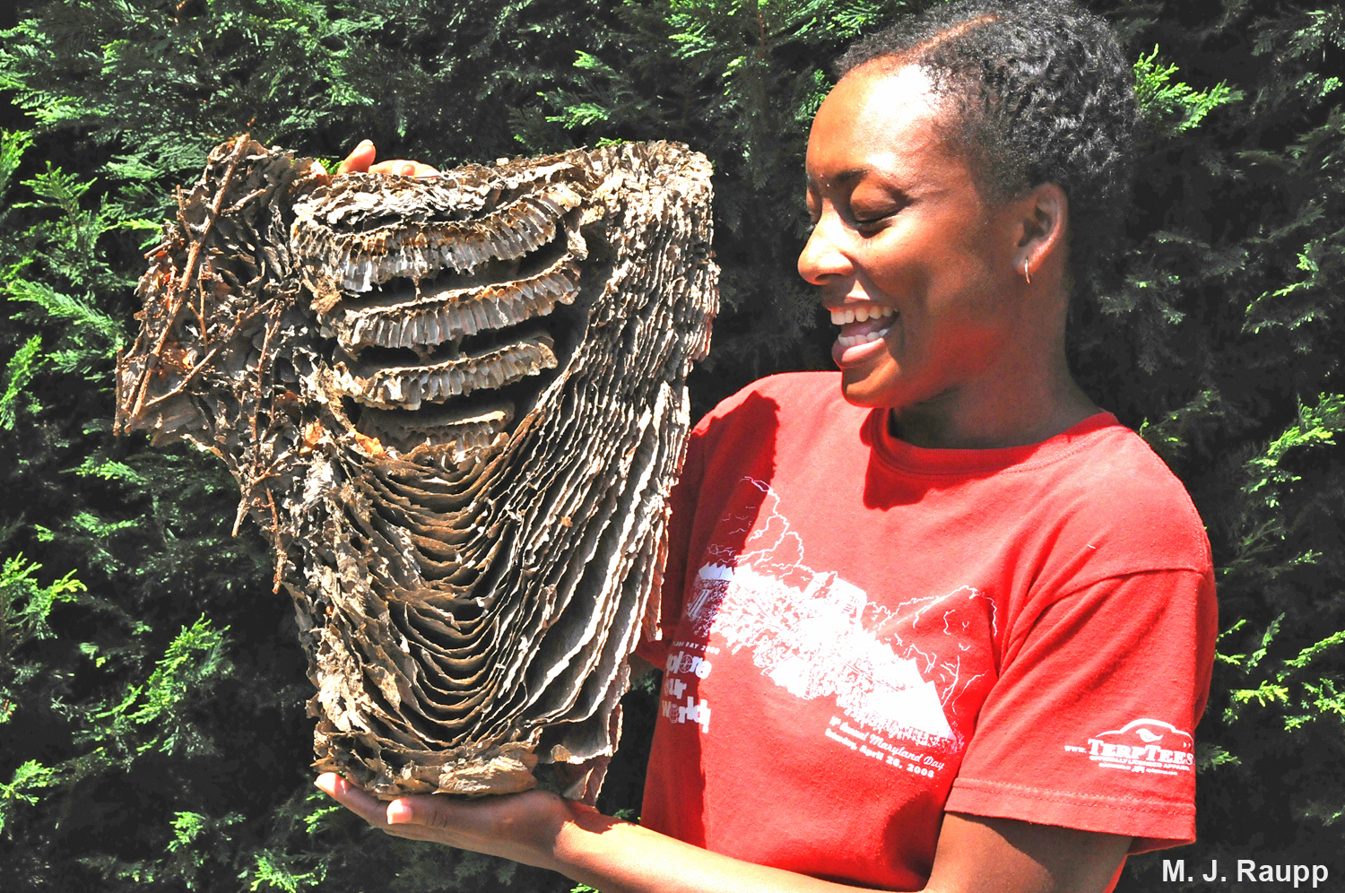 Baldfaced hornet nests can be the size of beach balls and contain hundreds of hornets.